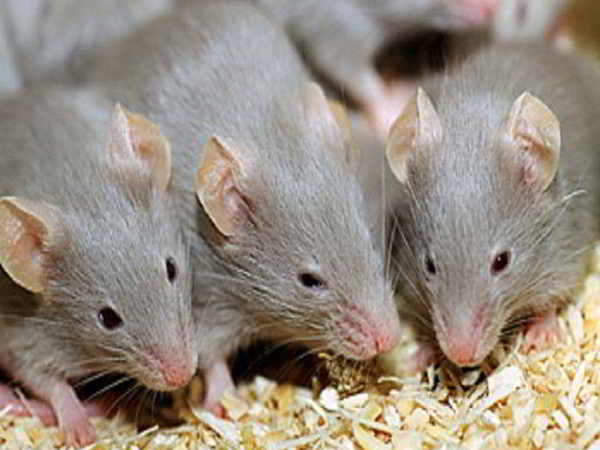 Giấc mơ thấy chuột có phải điềm báo không may mắn?