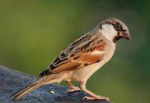 Mơ thấy chim sẻ đánh con gì may mắn?