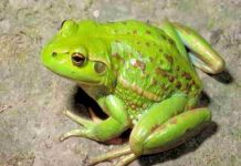 Nằm mơ thấy ếch đánh con gì dễ trúng thưởng?