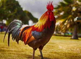 Nằm mơ thấy gà có ý nghĩa gì, đánh con nào thì trúng số?