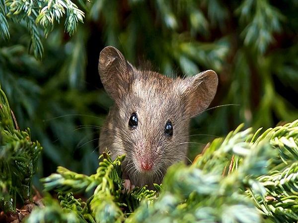 Giải mã giấc mơ con chuột phù hợp con số may mắn